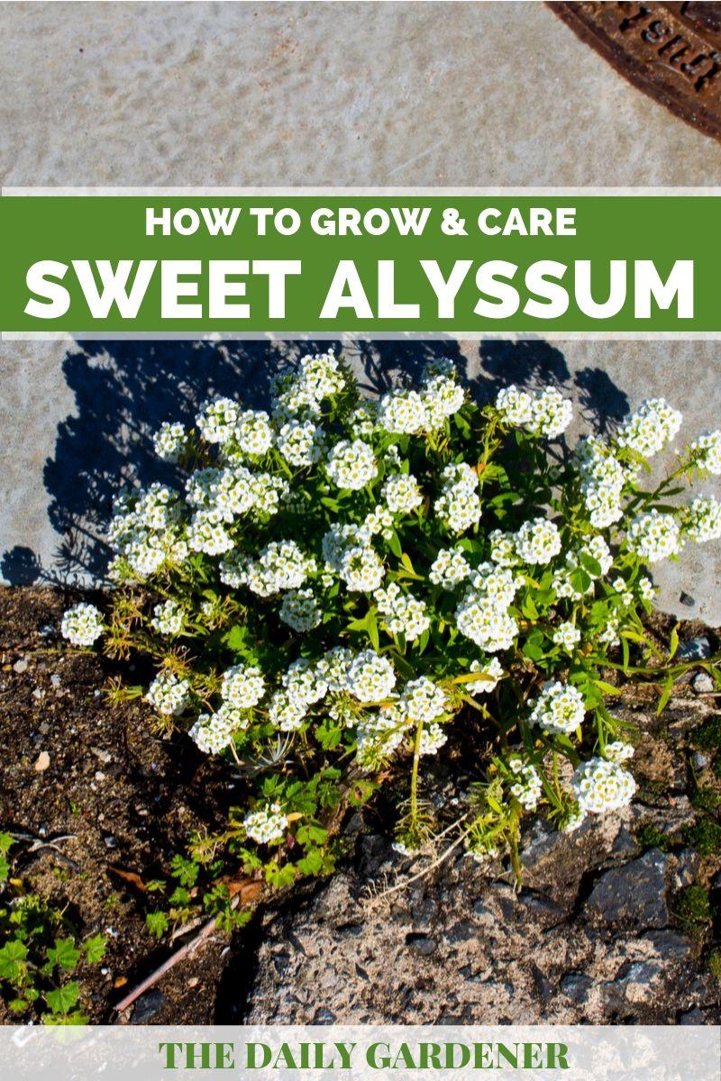 Sweet Alyssum 2