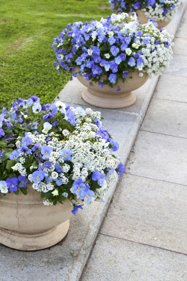 Sweet Alyssum Fertilizing