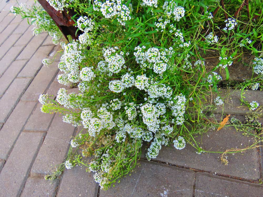 Sweet Alyssum Temperatures