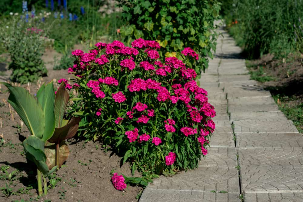 The Facts About Dianthus
