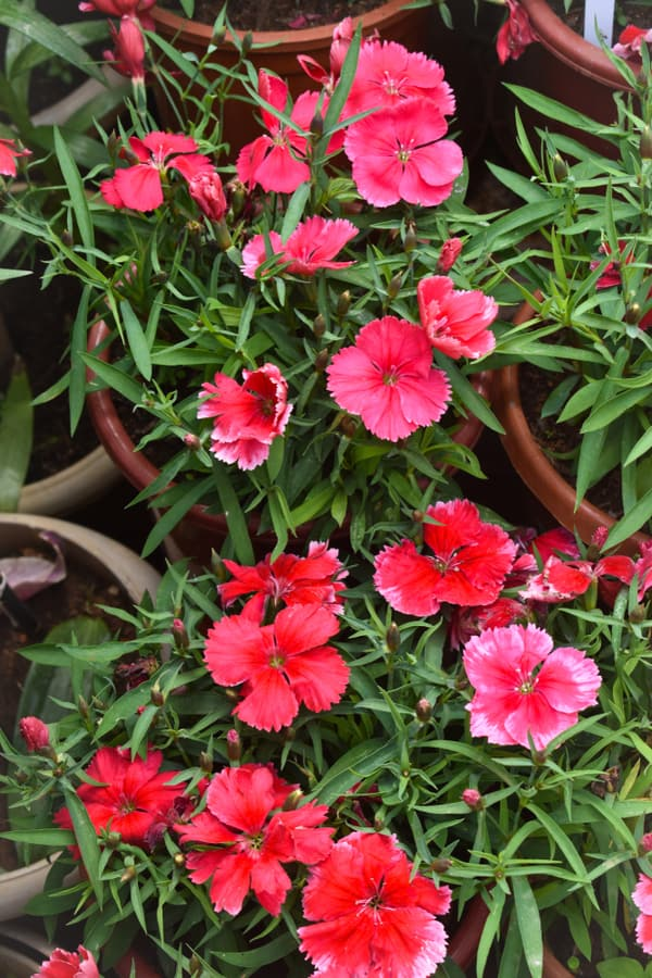 The Most Popular Types of Dianthus 1