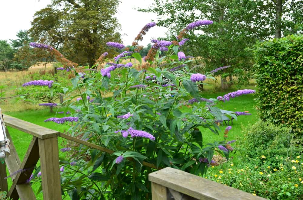 What to Know Before Planting Butterfly Bush