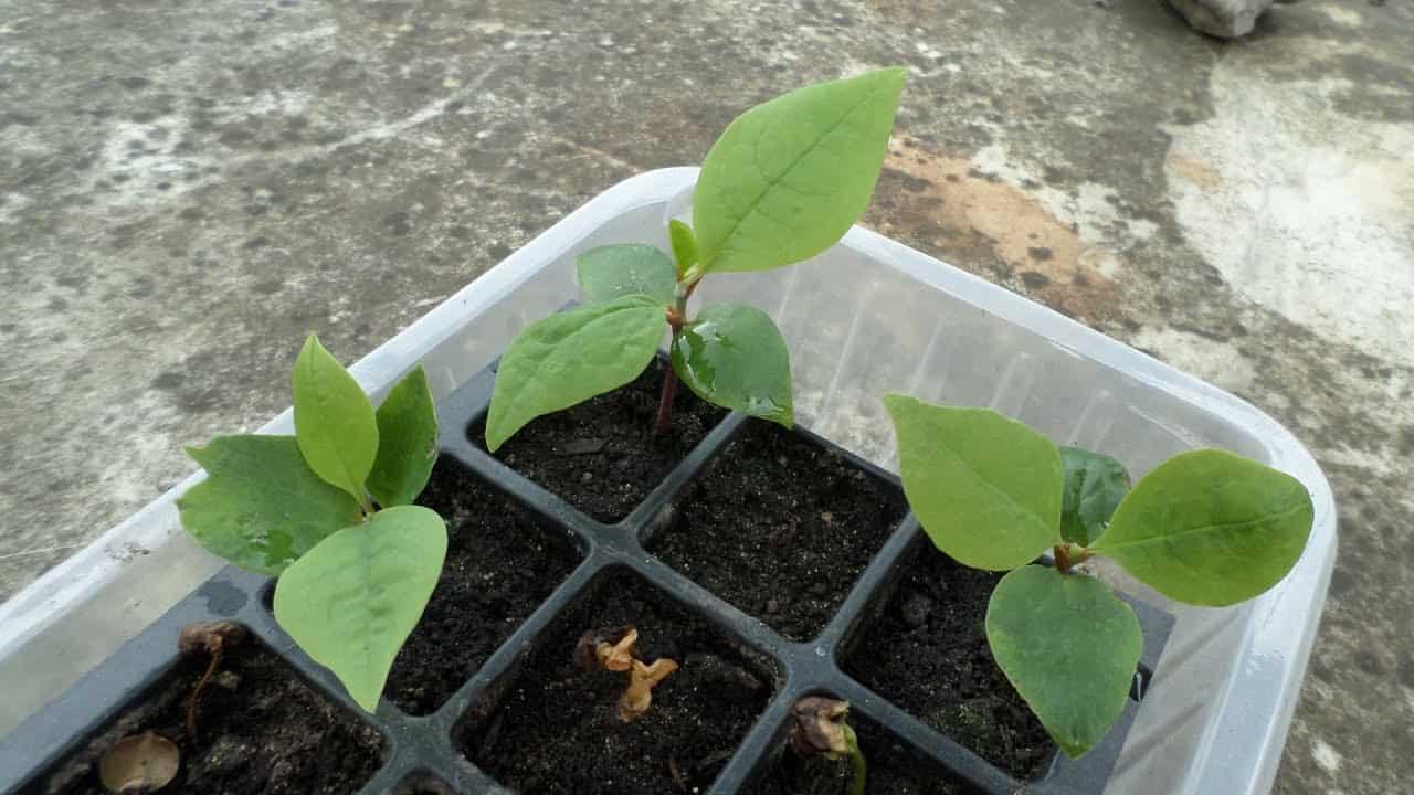 When to plant Magnolia