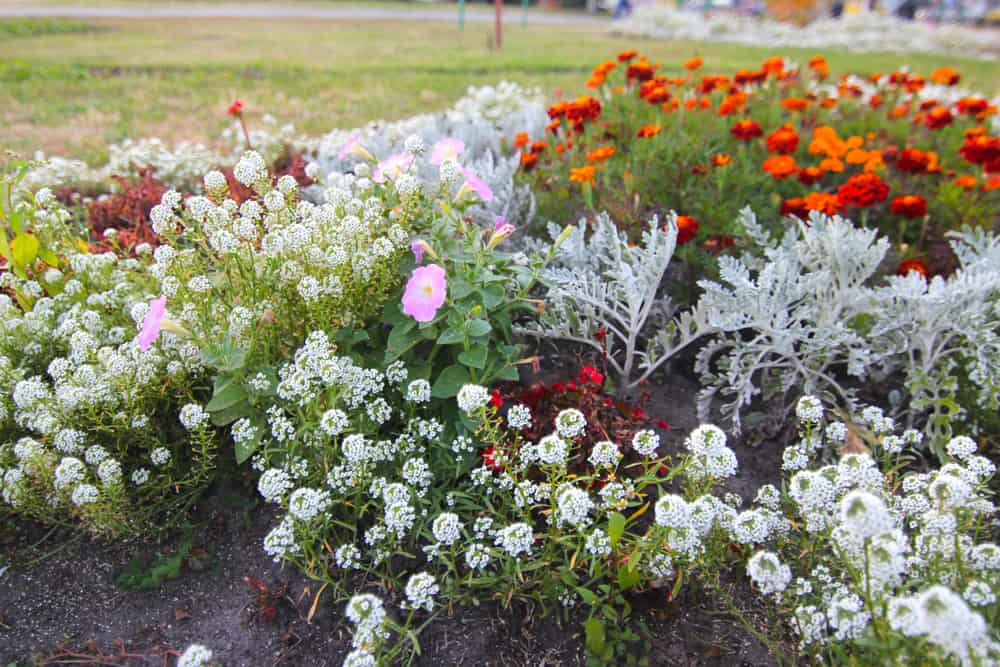 Why Planting Sweet Alyssum in Your Garden