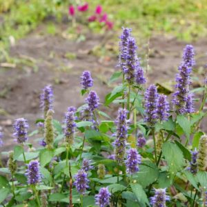 Anise Hyssop Plants