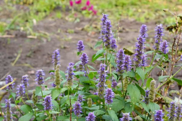 Anise Hyssop: How to Plant, Grow & Care?