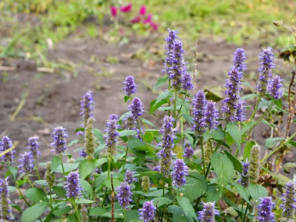 How to Plant Anise Hyssop in Your Garden (Tricks to Care!)