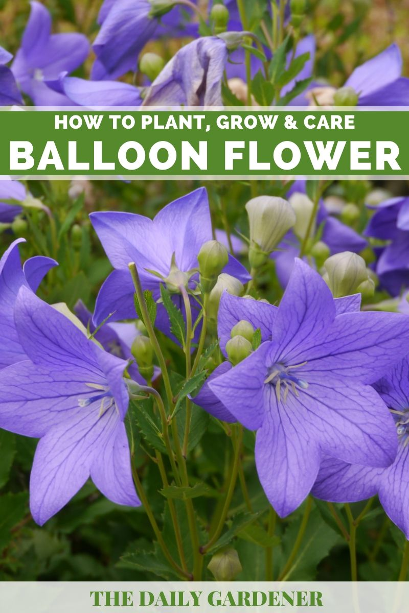 Balloon Flower 1