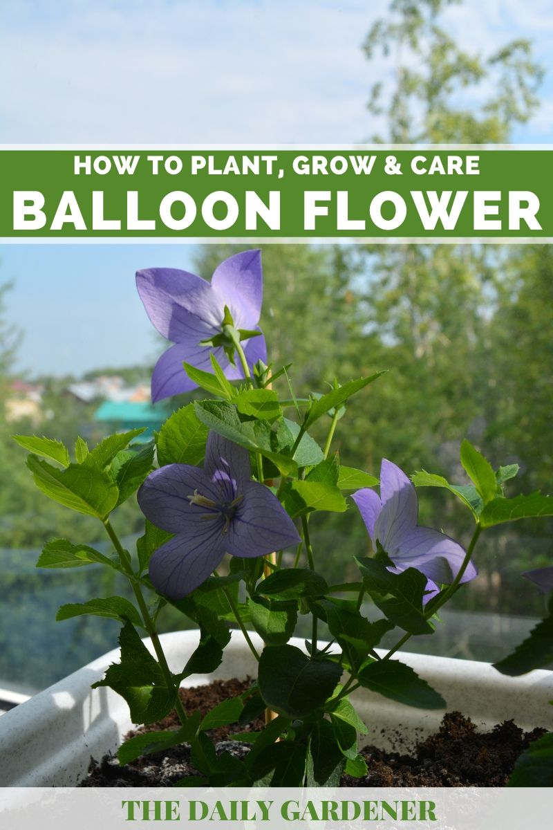 Balloon Flower 2