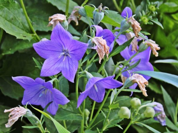 How to Plant Balloon Flower in Your Garden (Tricks to Care!)