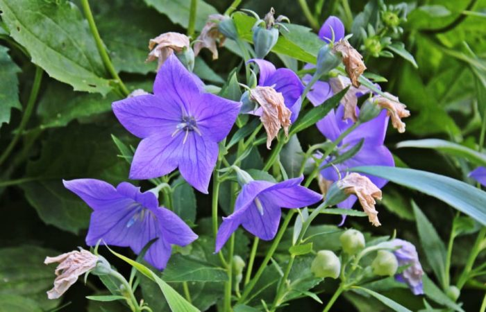 Balloon Flower: How to Plant, Grow and Care?
