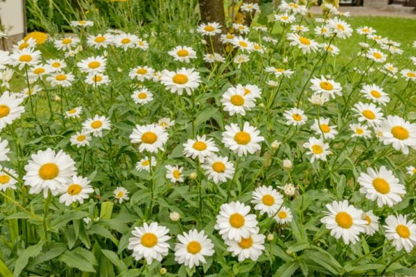 Chamomile Plant: How to Plant, Grow & Care?
