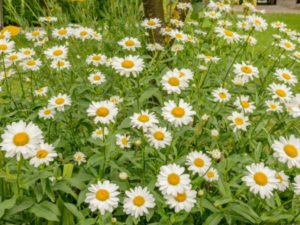 How to Plant Chamomile in Your Garden (Tricks to Care!)