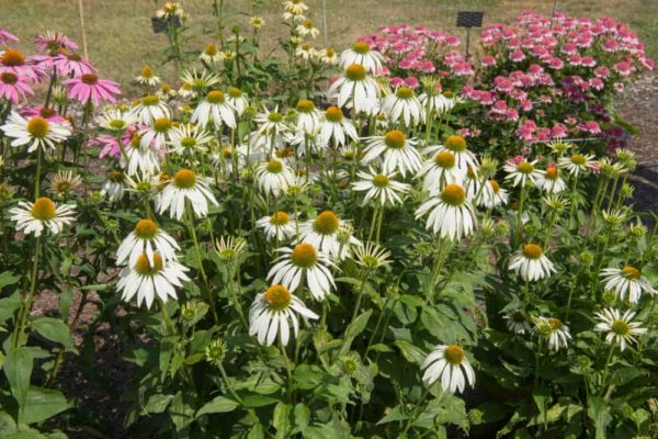 Coneflower: How to Plant, Grow & Care?
