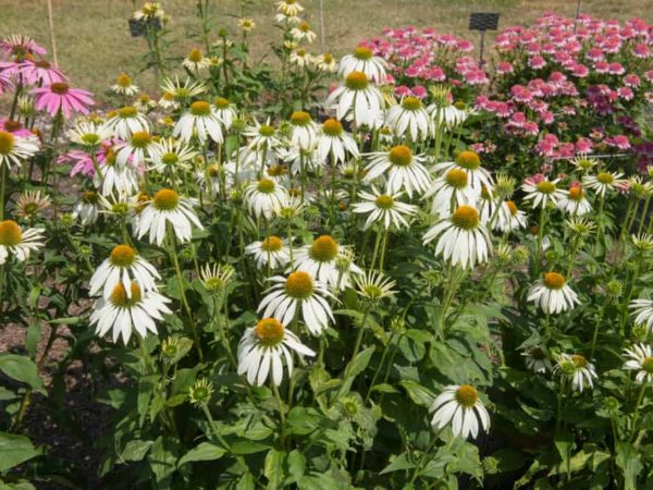 How to Plant Coneflower in Your Garden (Tricks to Care!)