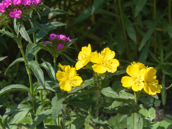 How to Plant Evening Primrose in Your Garden (Tricks to Care!)