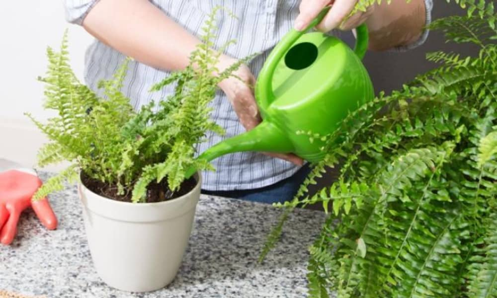 Ferns Watering