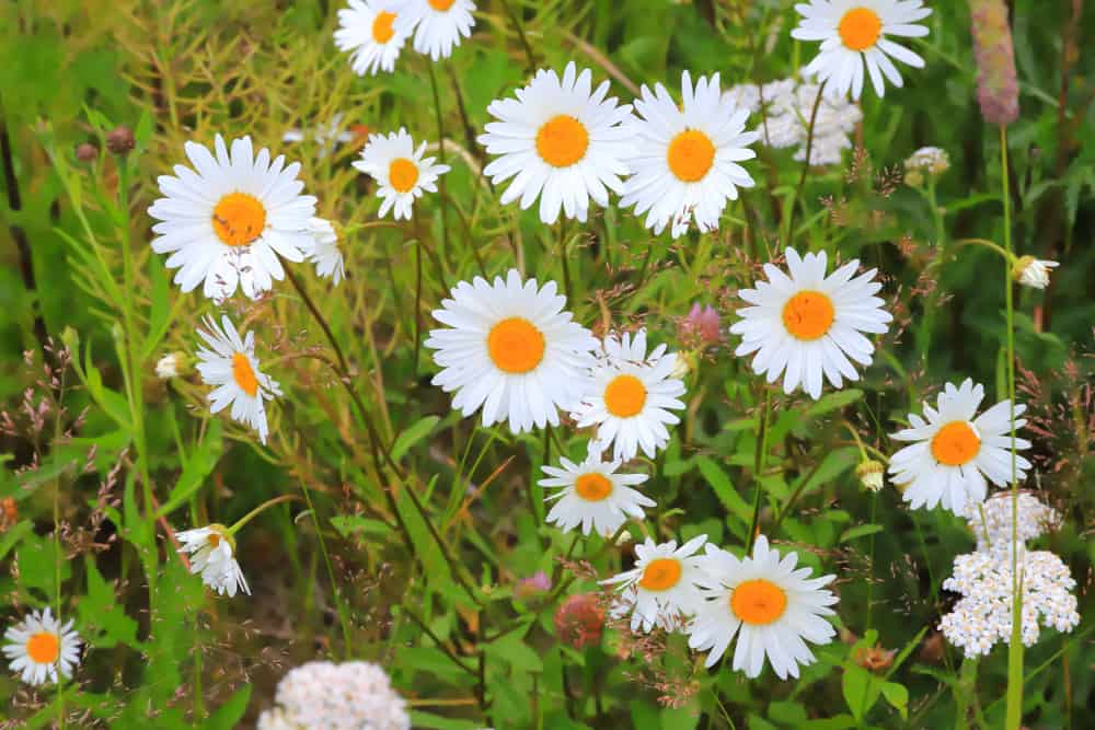 Grow Chamomile