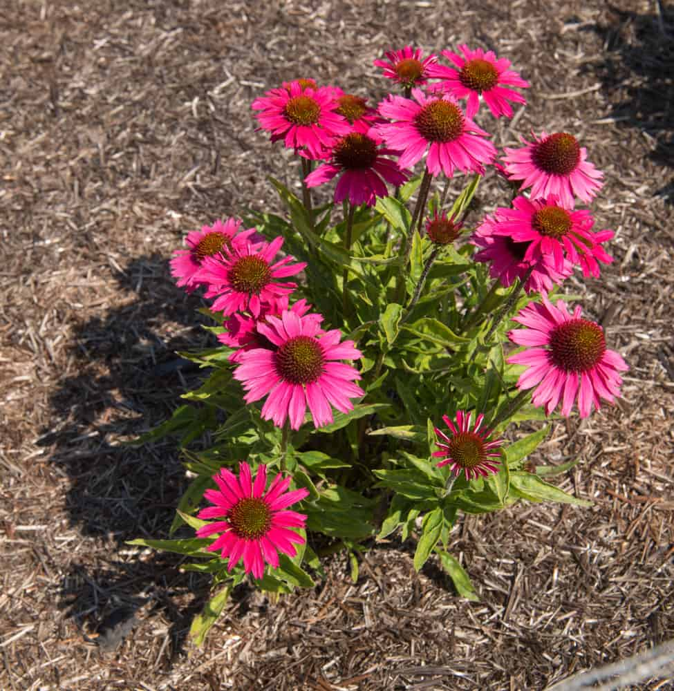 Grow Coneflower