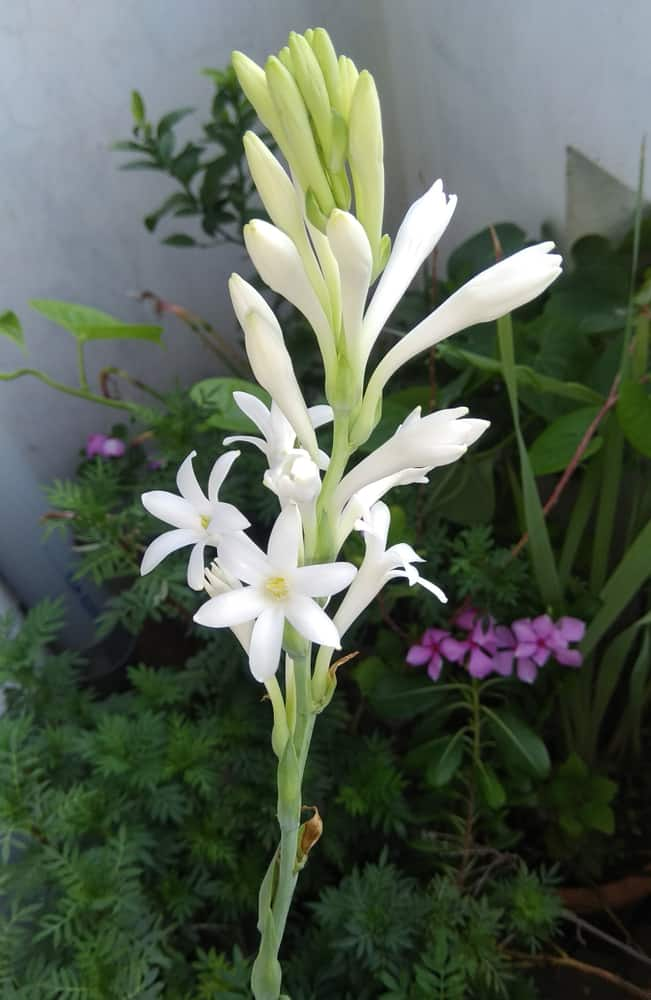 How to Harvest Tuberose