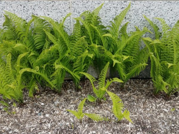 How to Plant Ferns in Your Garden (Tricks to Care!)