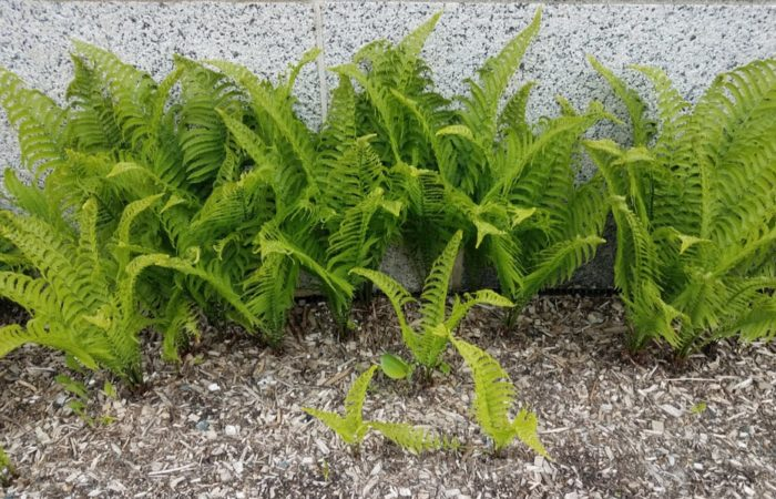 How to Plant, Grow and Care Ferns?