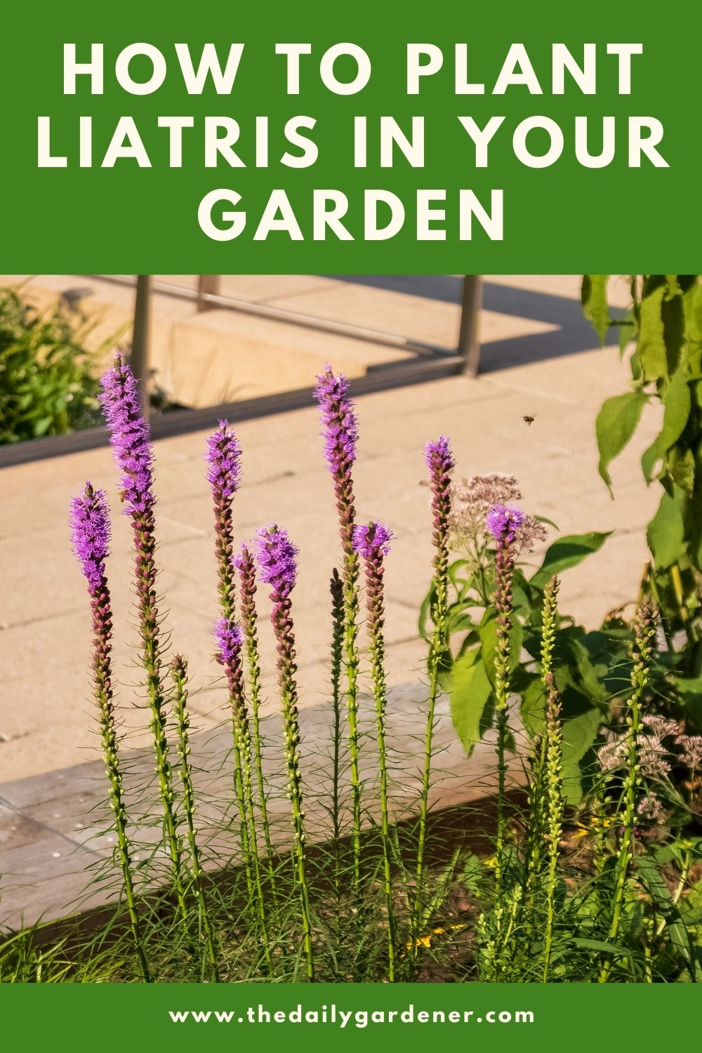 How to Plant Liatris in Your Garden 2