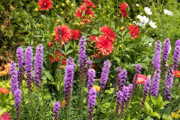 Liatris: How to Plant, Grow and Care?
