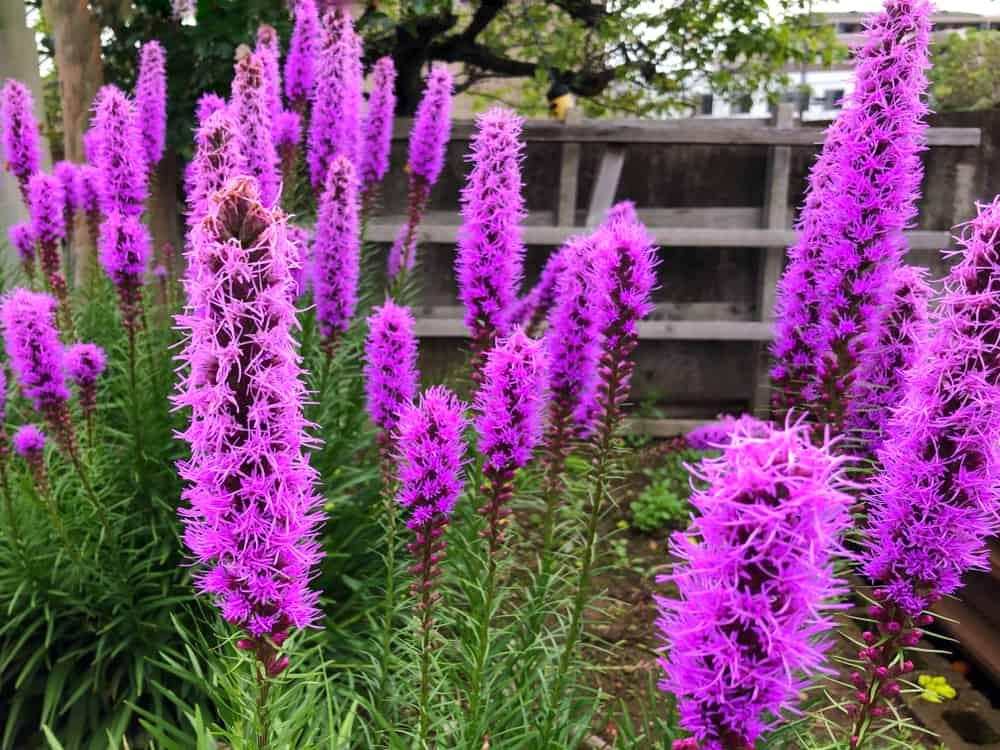 Liatris garden