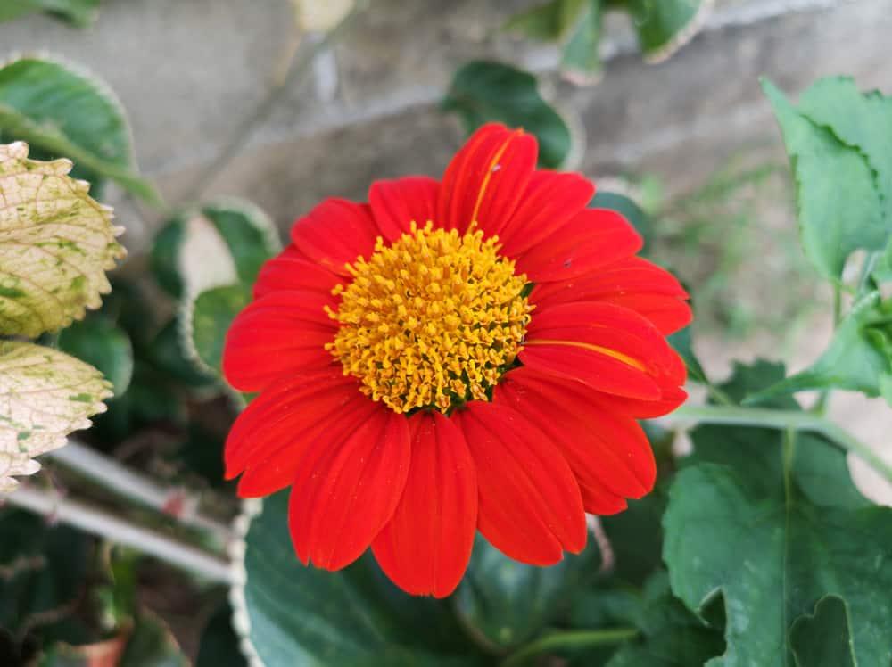 Painted Daisy 2