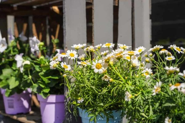 Painted Daisy: How to Plant, Grow and Care?