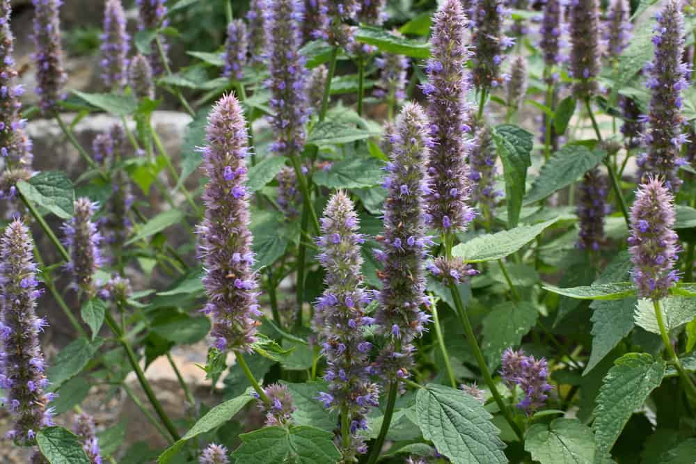 Plant Anise Hyssop