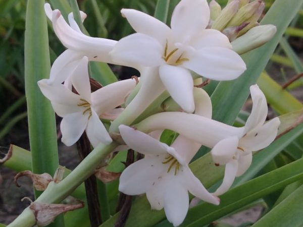 How to Plant Tuberose Flower in Your Garden (Tricks to Care!)