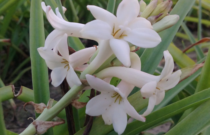 Tuberose Flower: How to Plant and Grow in Your Garden?