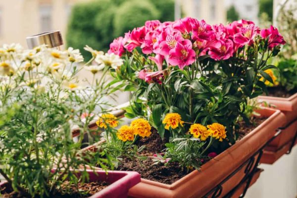 How to Grow Freesia Flowers in Your Garden (Tricks to Care!)