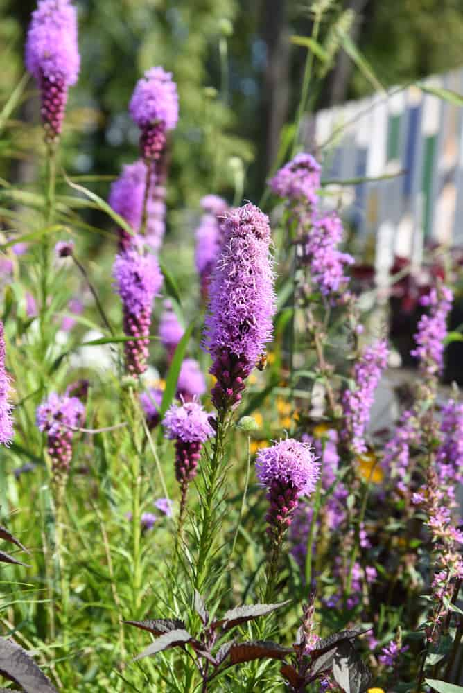 care Liatris