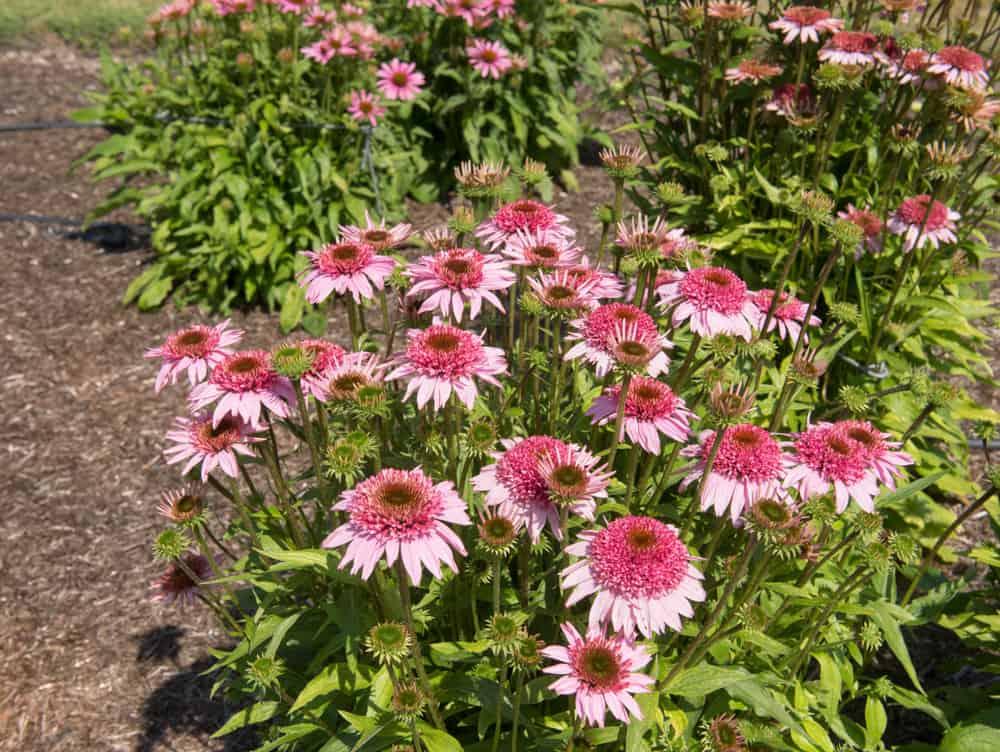 plant Coneflower