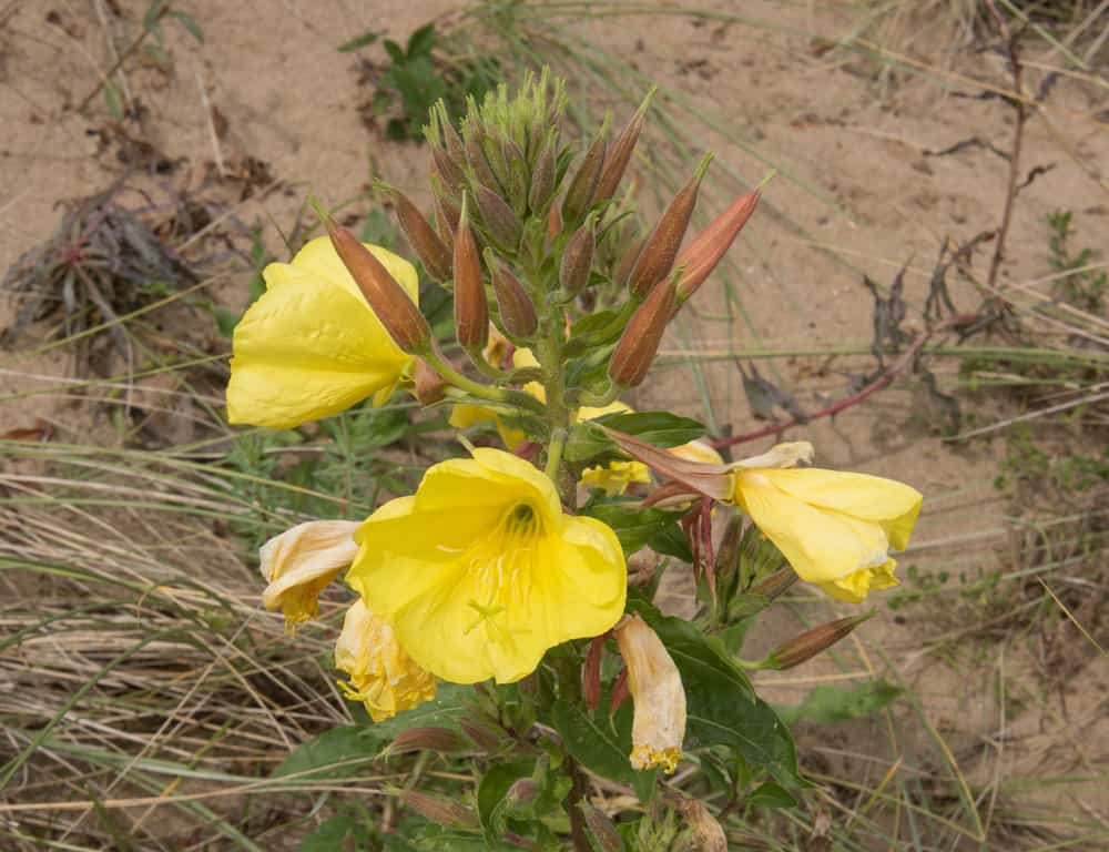 plant Evening Primrose