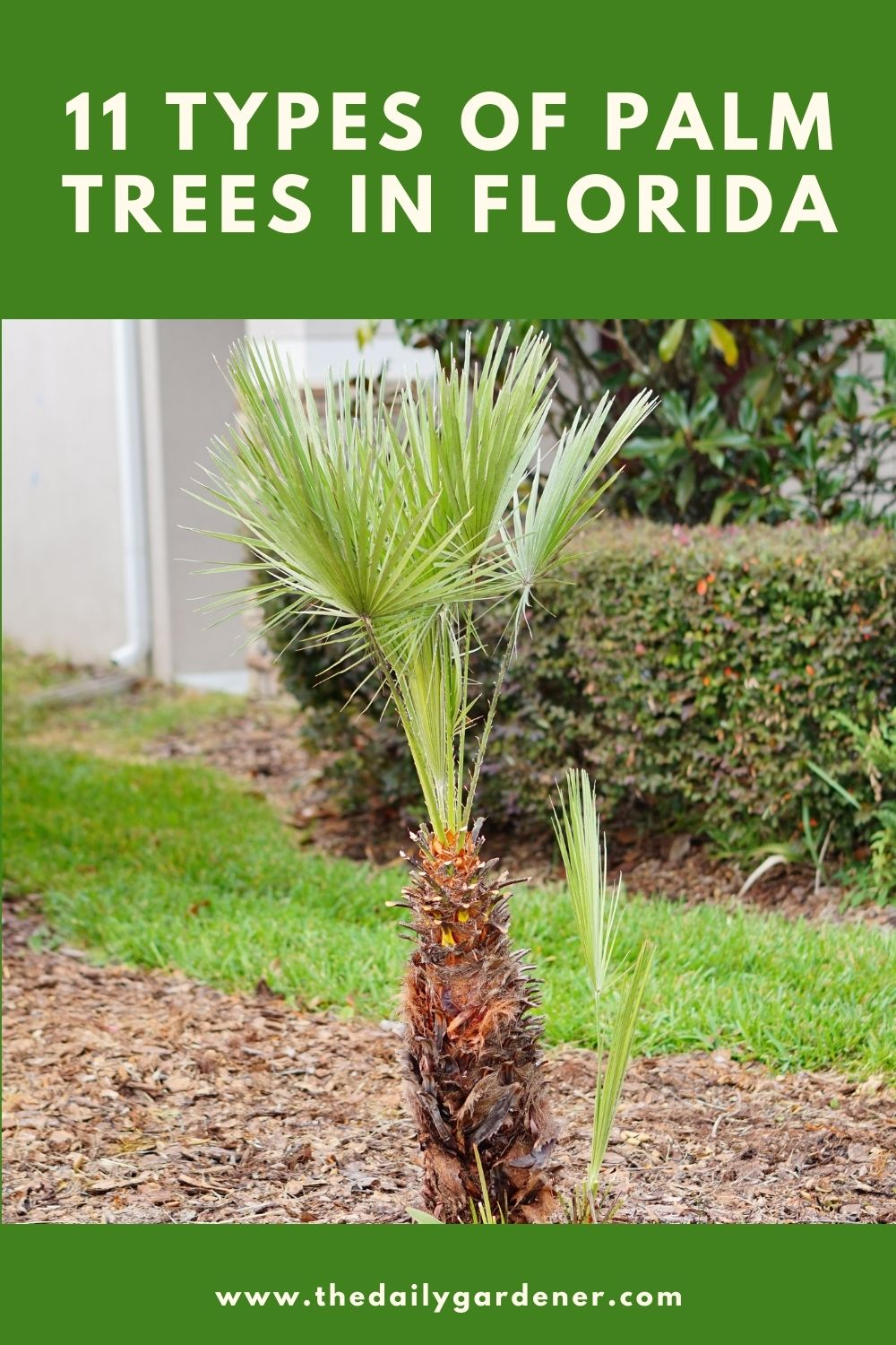 11 Types of Palm Trees in Florida 2