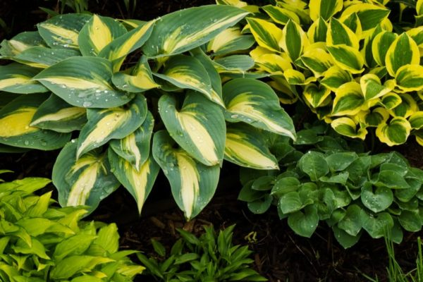 13 Types of Hostas – Hosta Varieties You May Want to Know