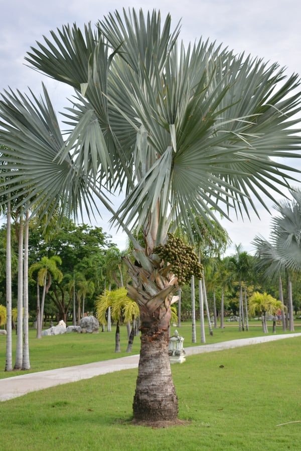 11 Types Of Palm Trees In Florida