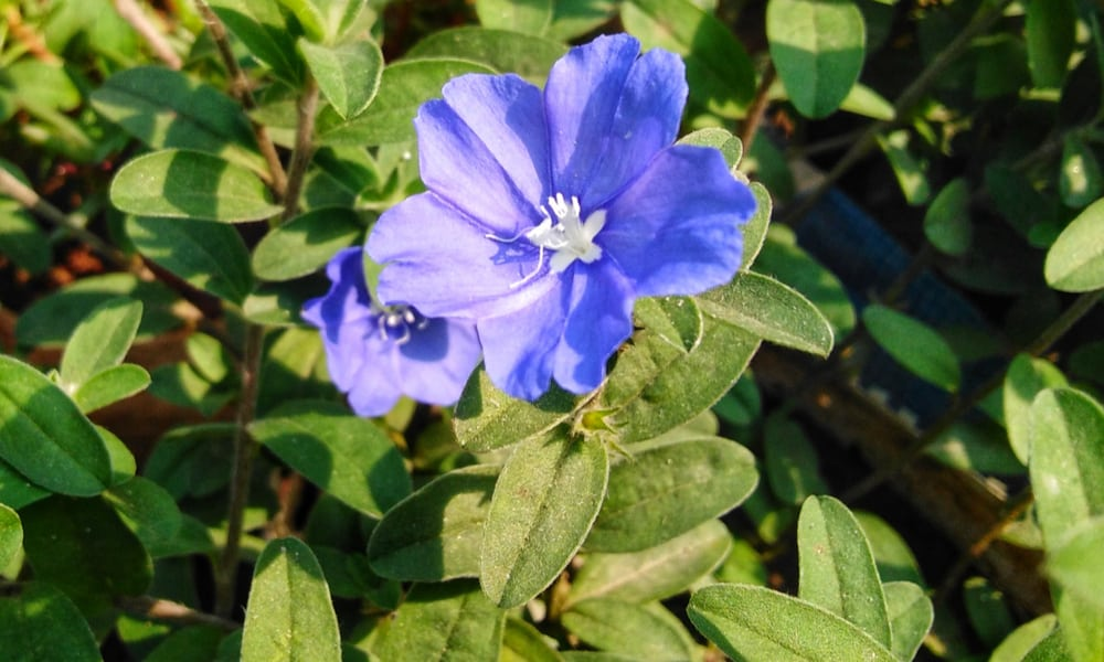 Blue Daze (Evolvulus glomeratus)