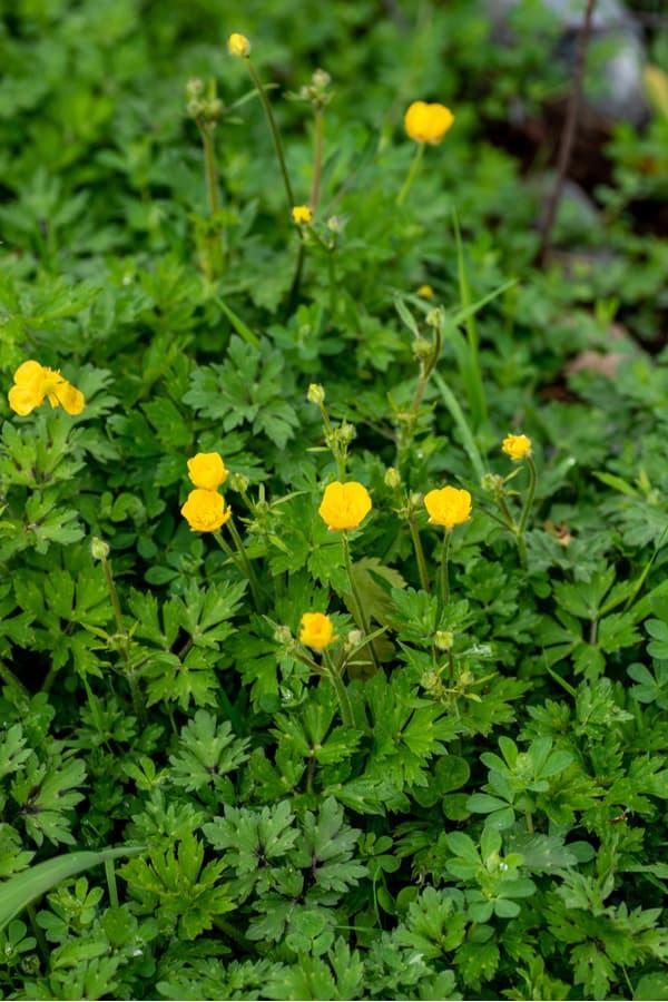 Buttercup (Ranunculus bulbosus)