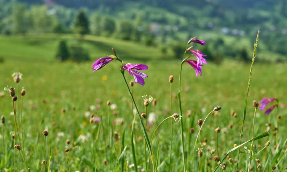 Gladiolus (Gladiolus palustris)