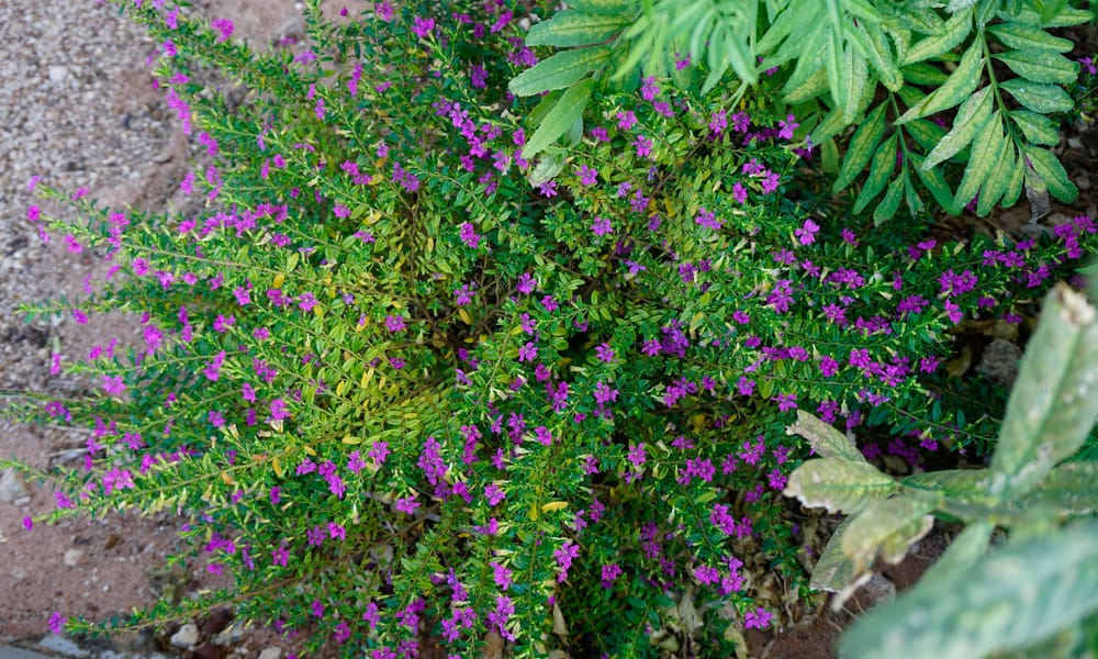 Mexican Heather (Cuphea hyssopifolia)