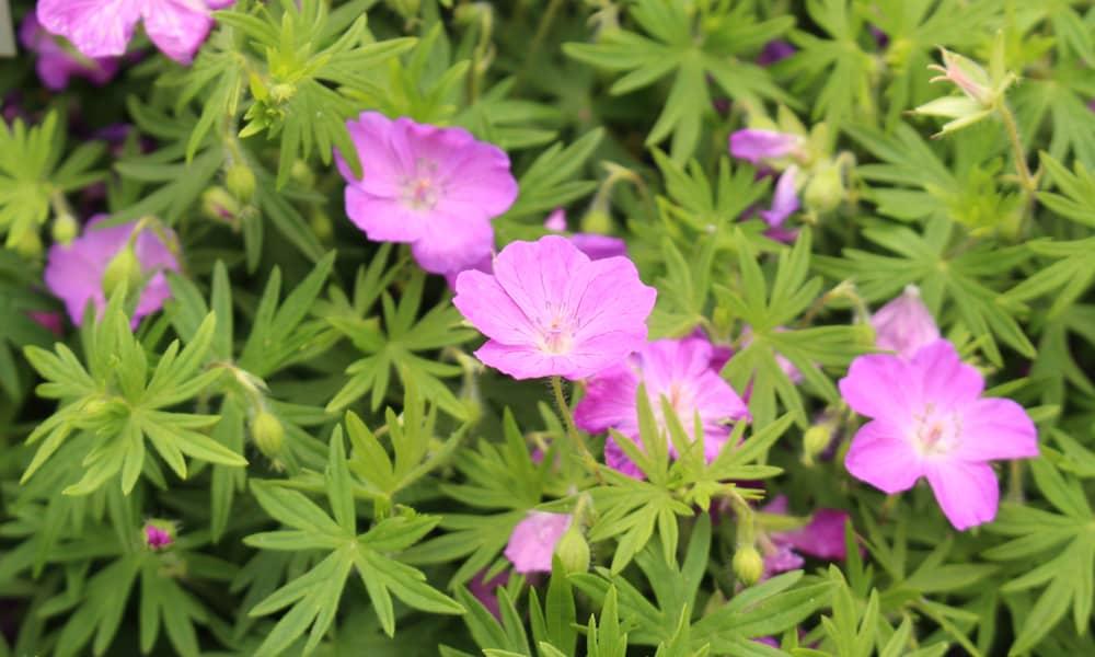 Purple geranium (Geranium sanguineum)
