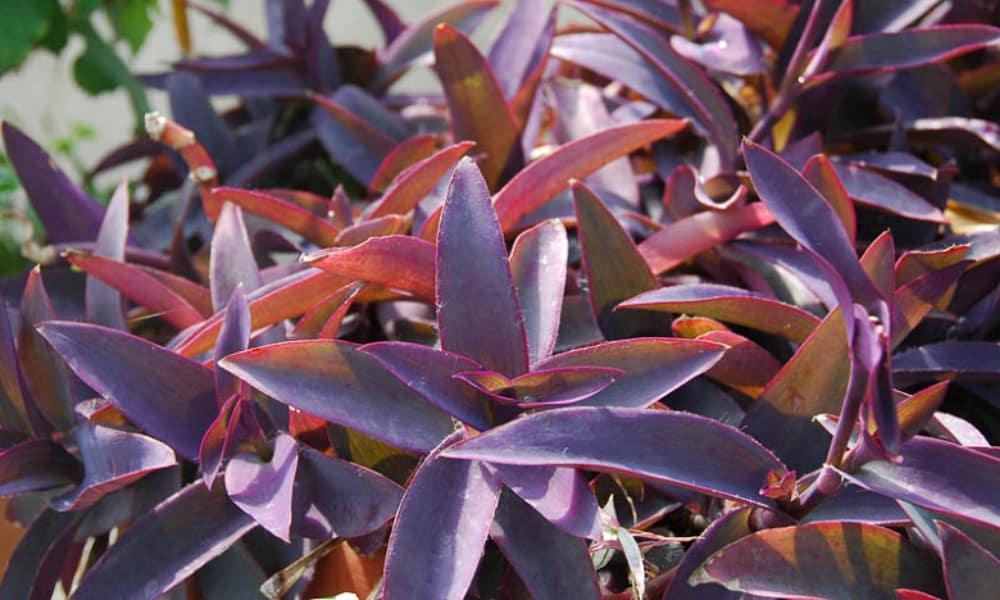 Purple-leaved spiderwort (Tradescantia pallida)
