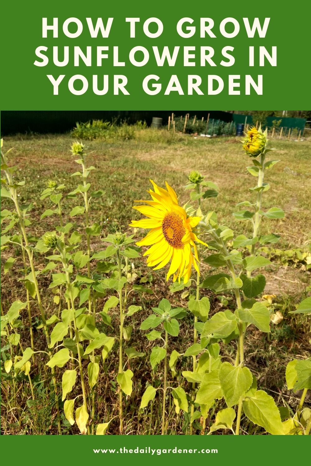 How to Grow Sunflowers in Your Garden 1