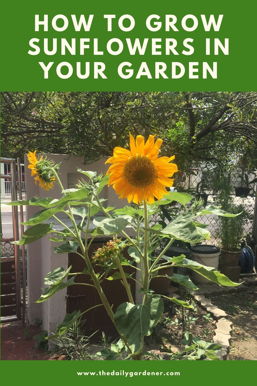 How to Grow Sunflowers in Your Garden 2