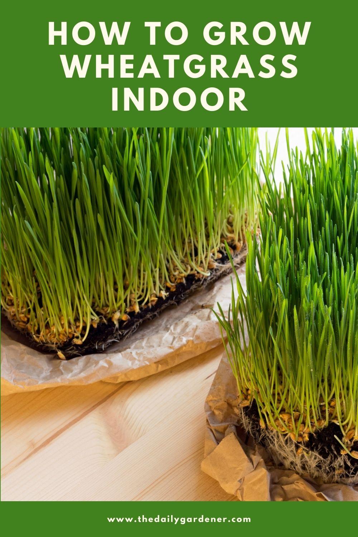 How to Grow Wheatgrass Indoor 1
